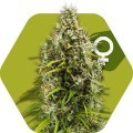 Pineapple Express Autoflowering (Zambeza Seeds)