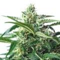 Skunk Autoflowering (Bulk Seeds)