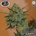 Blue Cheese Autoflowering (Big Buddha Seeds)