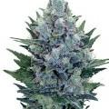 Blue Cheese Autoflowering (Zativo)