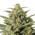 White Widow Autoflowering (Sensation Seeds)