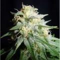 White Widow Autoflowering (Spliff Label)