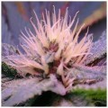 Blue Mystic (Nirvana Seeds)