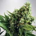 White Widow Autoflowering (Ministry of Cannabis)