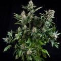 White Widow Autoflowering (Pyramid Seeds)