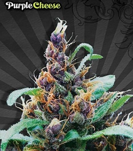 Purple Cheese (Auto Seeds)