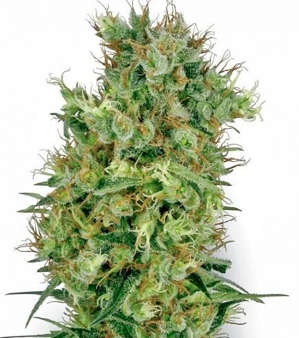 Cali Orange Bud (White Label)