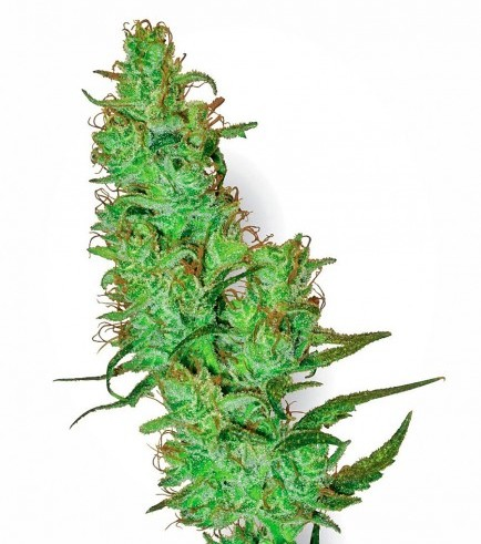 Jack Herer (White Label)