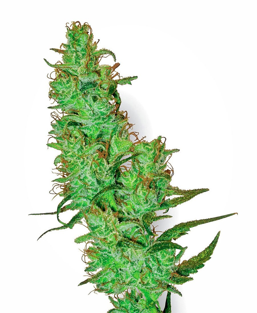 Джек и марихуана сколько разновидностей конопли