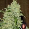 Bubble Gum (Serious Seeds)