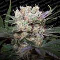 Californian Gold (Paradise Seeds)