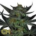 Herijuana Jack 33 (CH9 Seeds)