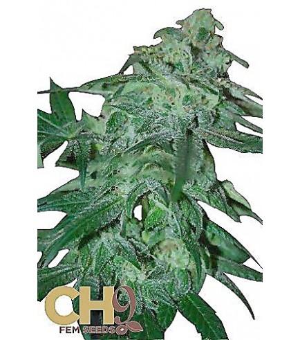POW 33 (CH9 Seeds)