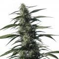 Txaki (Medical Marijuana Genetics)