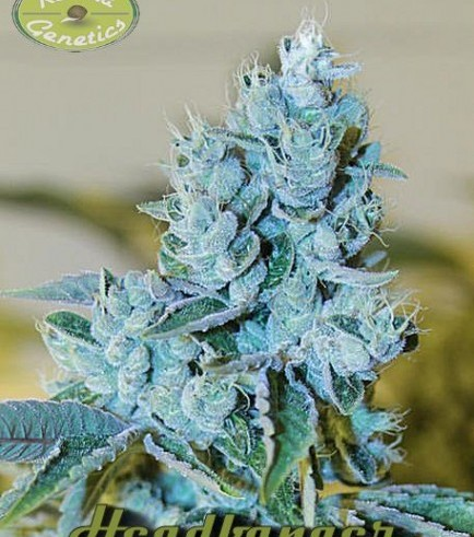 Headbanger (Karma Genetics)