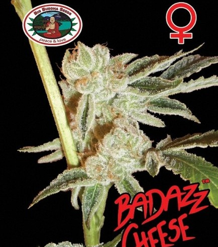Badazz Cheese (Big Buddha Seeds)