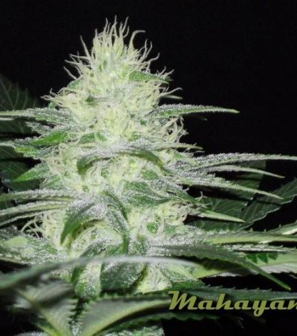 Mahayana (Karma Genetics)