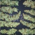 Darkling Sativa (Kingdom Organic Seeds)