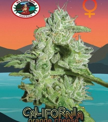 California Orange Cheese (Big Buddha Seeds)