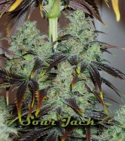 Sour Jack (Karma Genetics)