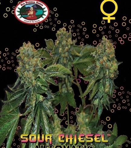Sour Chiesel Autoflowering (Big Buddha Seeds)