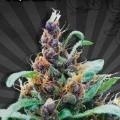 Purple Cheese Autoflowering (Auto Seeds)