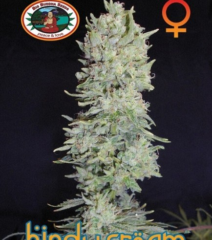 Hindu Cream (Big Buddha Seeds)