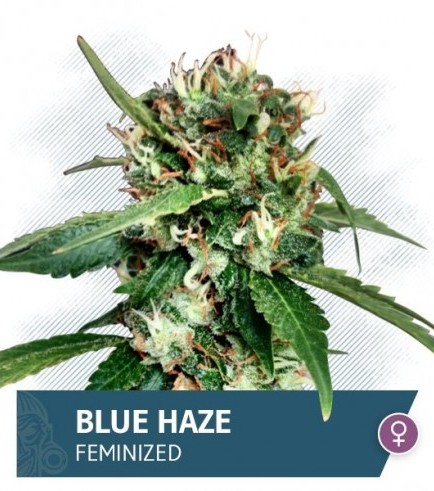 Blue Haze (Zamnesia Seeds)
