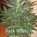 Dark Rhino (Kingdom Organic Seeds)