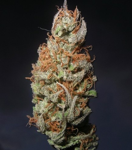 Island Sweet Skunk (Next Generation Seed Company)