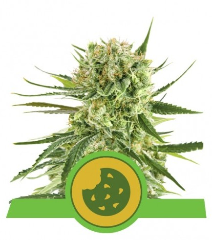 Royal Cookies Auto (Royal Queen Seeds)