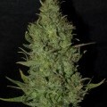 BC Golden Skunk (Next Generation Seed Company)
