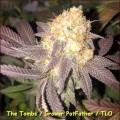 The Tombs (Kingdom Organic Seeds)