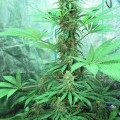 Iron Cindy (Kingdom Organic Seeds)