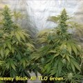 Hemmy Black (Kingdom Organic Seeds)