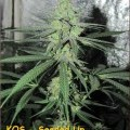 Black Poison (Kingdom Organic Seeds)