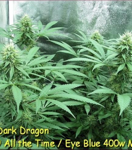 Dark Dragon (Kingdom Organic Seeds)