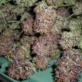 NY Purple Diesel (Next Generation Seed Company)