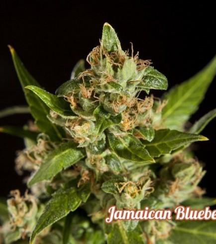 Jamaican Blueberry BX (Philosopher Seeds)