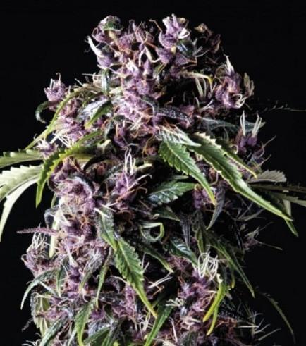 Purple (Pyramid Seeds)