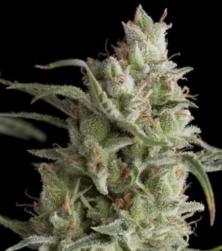 Super OG Kush (Pyramid Seeds)