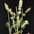 Strawberry AKeil (Serious Seeds)