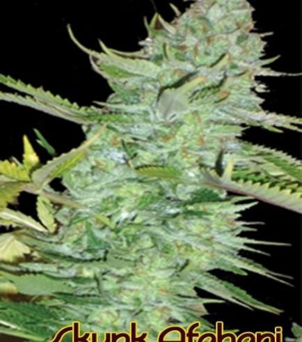 Skunk Afghani (Original Sensible Seeds)
