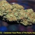 Candyman Haze (Kingdom Organic Seeds)