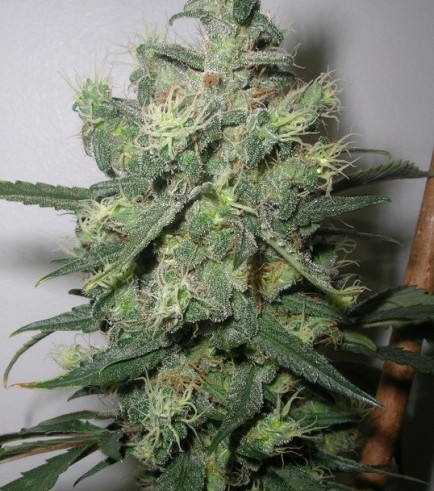 Blueberry Punch (Next Generation Seed Company)