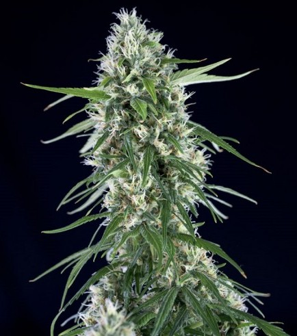 Super Silver Bilbo (Genehtik Seeds)