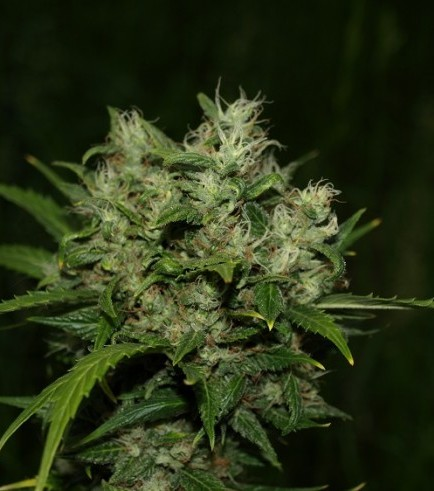 Grapefruit Diesel (Next Generation Seed Company)