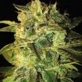 Sugar Mango Ryder (World of Seeds)