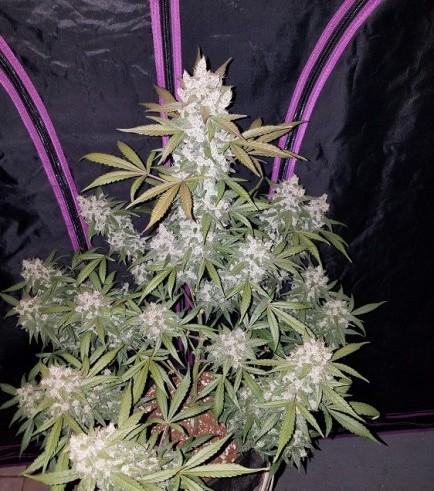Girl Scout Cookies Auto (Fast Buds)