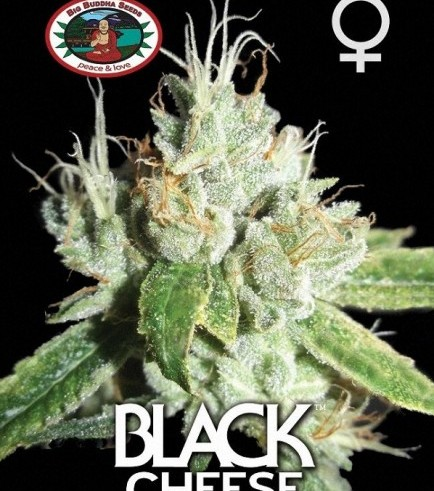 Black Cheese (Big Buddha Seeds)